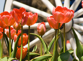 Tulips on display at Nelis Dutch Village